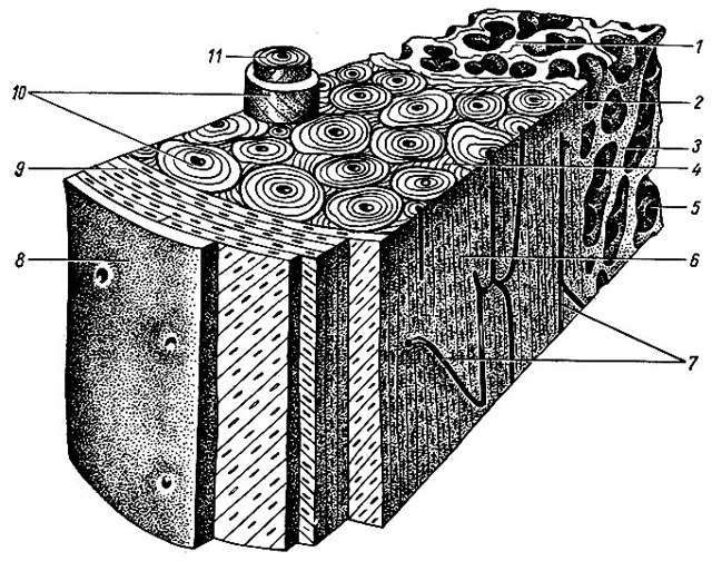 Фаланги это короткие трубчатые кости у которых различают