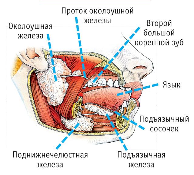 Сальные железы трубчатые или альвеолярные