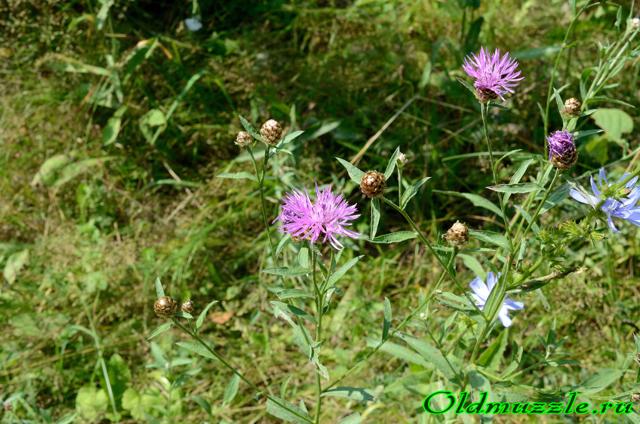 Цветки василька синего трубчатые