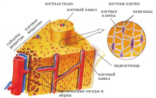 Хрящевые прослойки в трубчатой кости