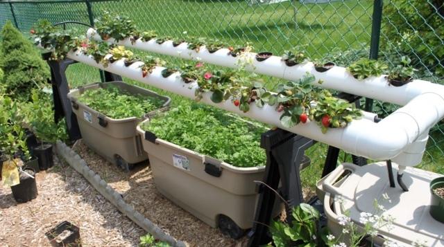Садим клубнику в трубы