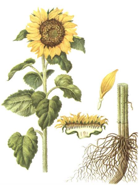 Цветки у подсолнечника трубчатые или язычковые