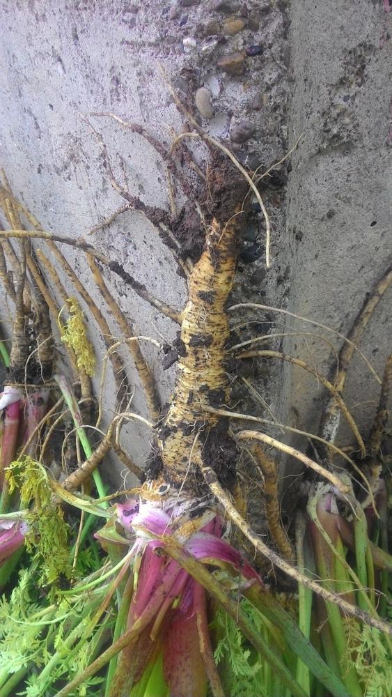 Цветок крупный с трубчатым стеблем